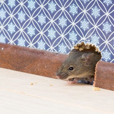 mouse chewing through a wall