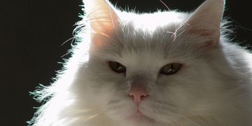White long hair cat contemplates having a chronic disease