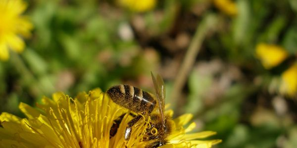 Honeybee pollinating on a flower