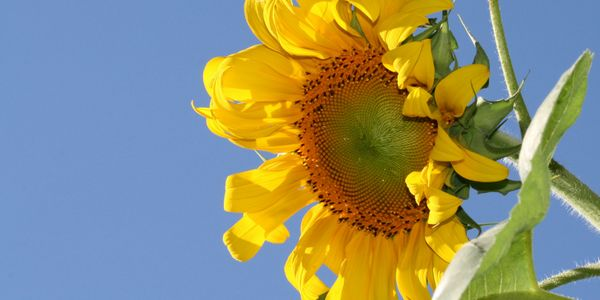 Sunflowers are Inspiring