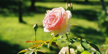 Visitor inforation about the Portland Rose Garden in Portland Oregon