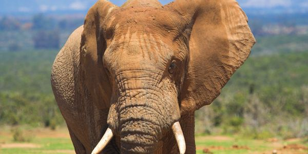 Close up of Elephant in Kenya