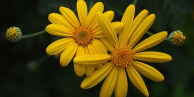 Arnica oil has become popular for its pain-relieving and health-promoting properties. Arnica flowers