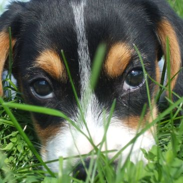 Puppy sniffling in a grass.