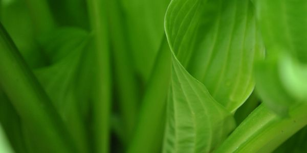 Bright green leaves of Hosta plant whose shoots are actually edible and do well in a stir fry.