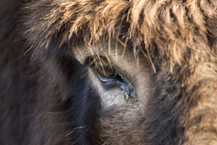 A close up of a donkey head, showing the eye.