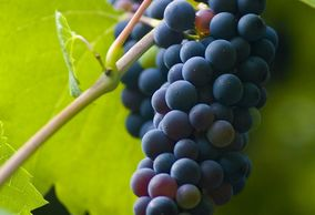 Dark red bunch of grapes resting on a leaf in a vineyard