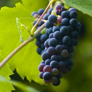 Ripe bunch of purple grapes in Margaret River Vineyards on a Wine Tasting Tour