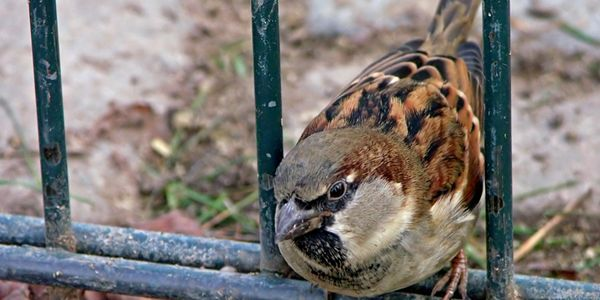 We specialize in sparrow removal and control in Westchester County, Putnam County and Dutchess NY
