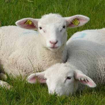 The lambs in Sheepy Hollow live in large and beautiful grass pastures.