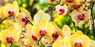 Link to St. Augustine Orchid Society culture pages.