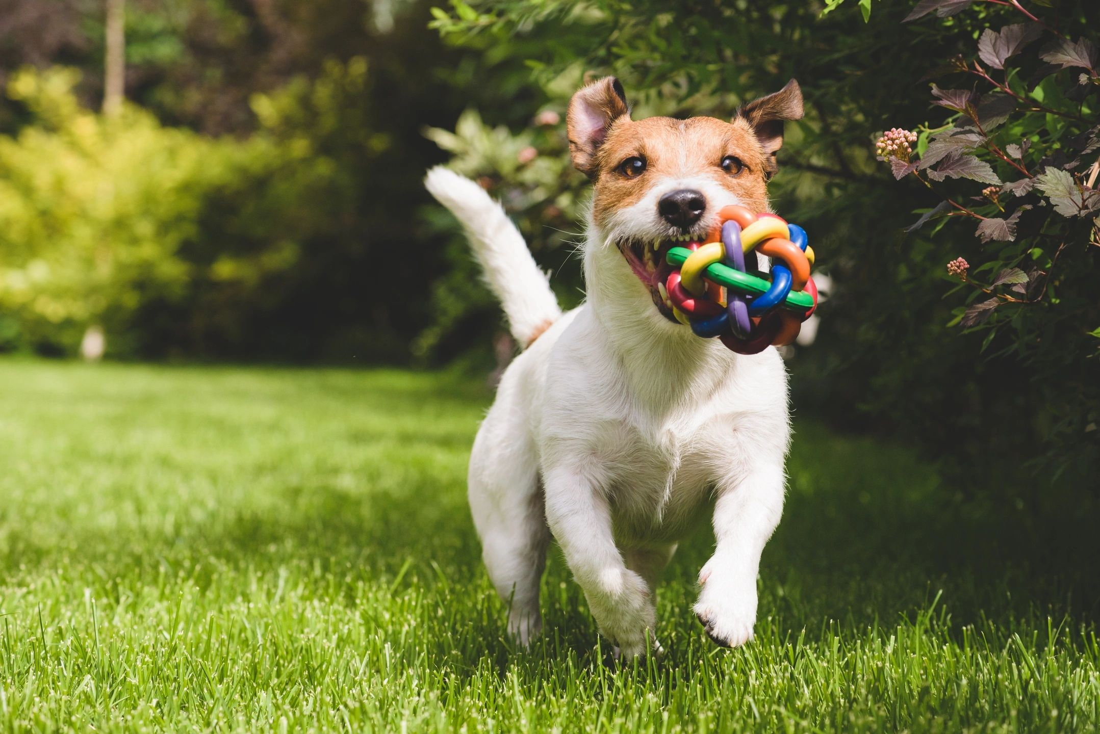 Jack russel dog running on grass with a colorful ball in their mouth.