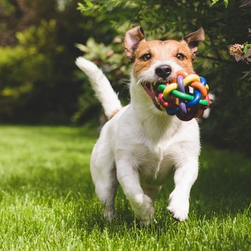 Happy Jack Russell terrier carries colorful toy through the grass
