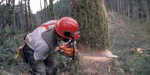 Grounds man cutting down tree