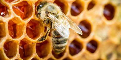honeybee on a honeycomb with uncapped cells of honey