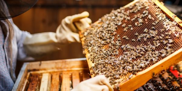 Frame of bees being inspected for health and happiness.
