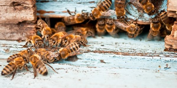 Honey Bees coming home and leaving to go gather nectar and pollen to store in the honey comb for later use.