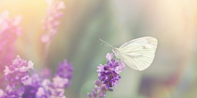 A beautiful butterfly sits on part of a lavender bush in the sunlight, a calming image