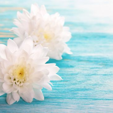 Peaceful image of two white dahlias resting on a light teal blue wood service