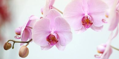 Link to the American Orchid Society