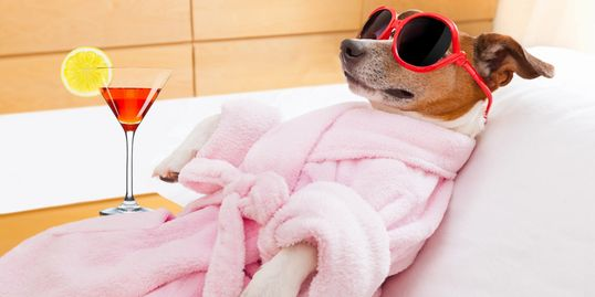 Spa dog wearing pink robe and sunglasses  lying on back