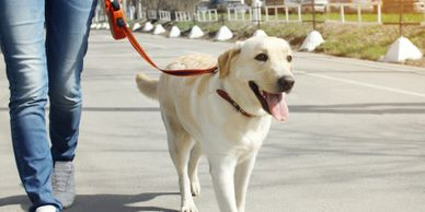 Dog walking on leash dog training yellow lab Gainesville Canine Academy