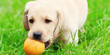 Puppy with ball in mouth