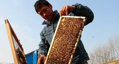 Beekeepers (aka Apiarists) manage Bee Colonies to produce honey, making life sweeter for everyone.