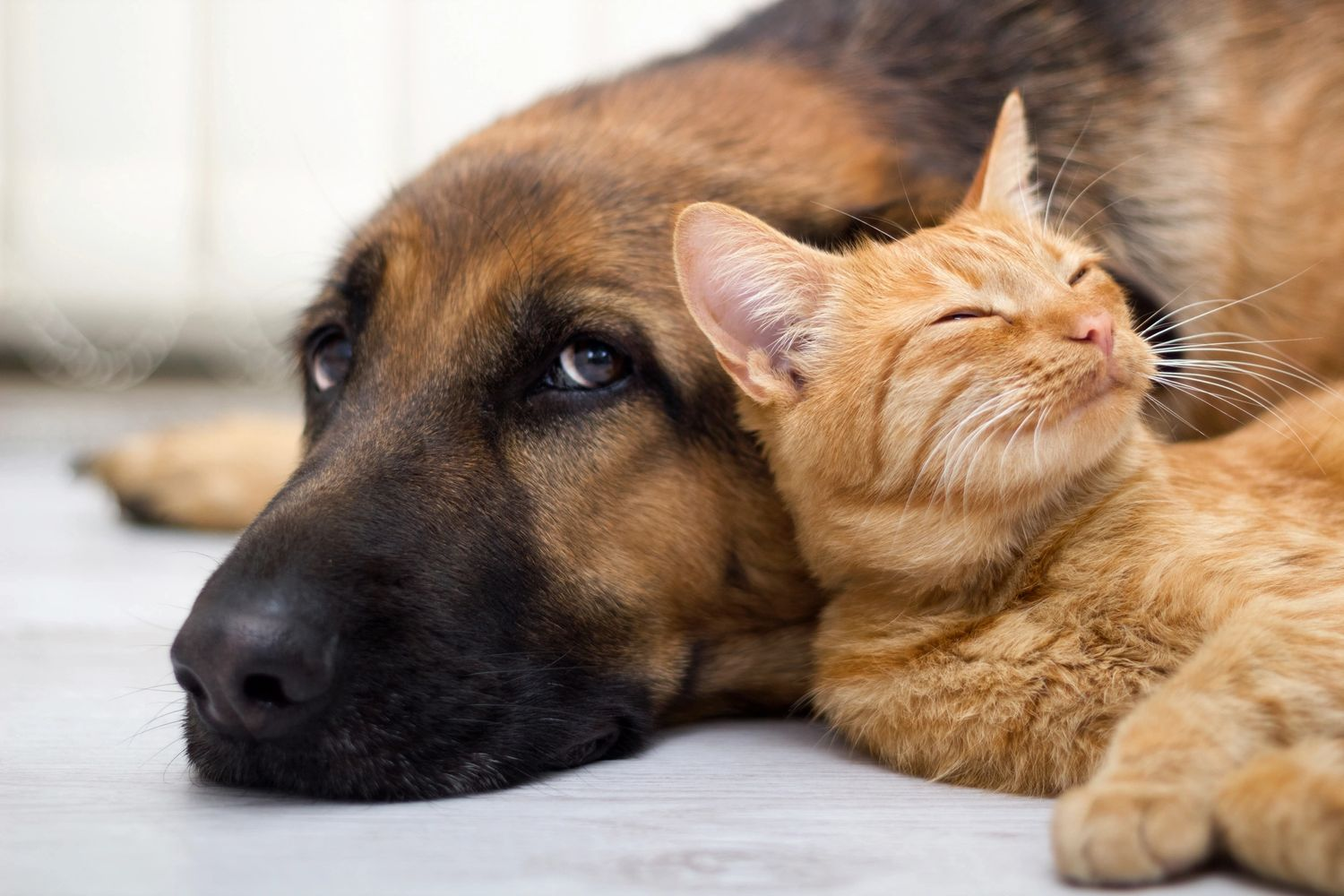 Black and tan shepherd dog and orange short haired tabby cat