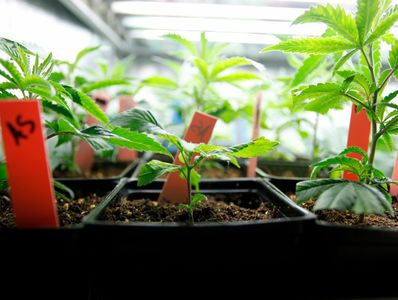 Clones of cannabis sit in small black plastic pots.