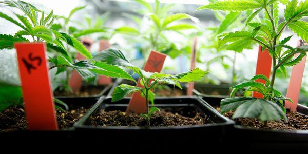 Strange Leaf Dispensary - Medical Marijuana, Marijuana Dispensary