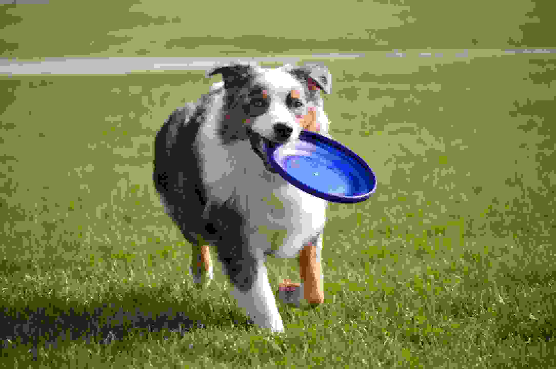 happy dog with frisbee running in a grassy field