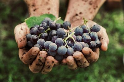 Purple grapes, very ripe being held by a winemaker with both hands in a vineyard