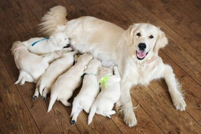Mother dog nurses pups. Syd's Pet Sitting provides professional whelping services.