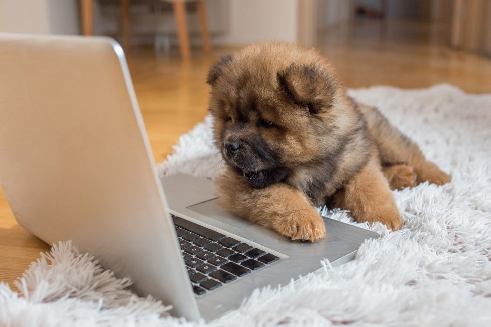 Dog looking at cameras on computer