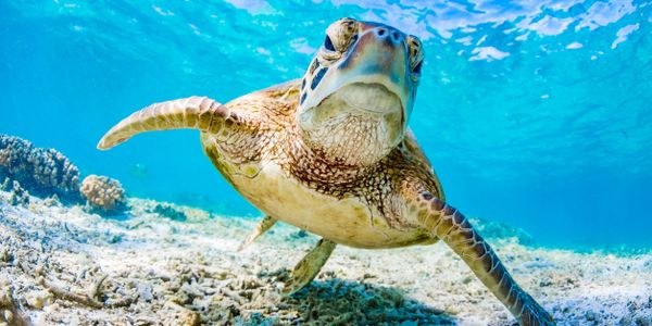 Sea turtles and ocean health