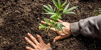 outdoor growing techniques how to grow bigger buds outdoors how to grow hydro indoor growing systems