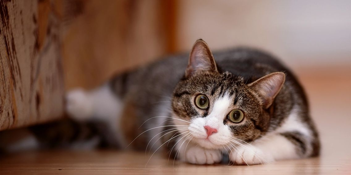 Brown tabby and white cat lives the ZenCat Mission