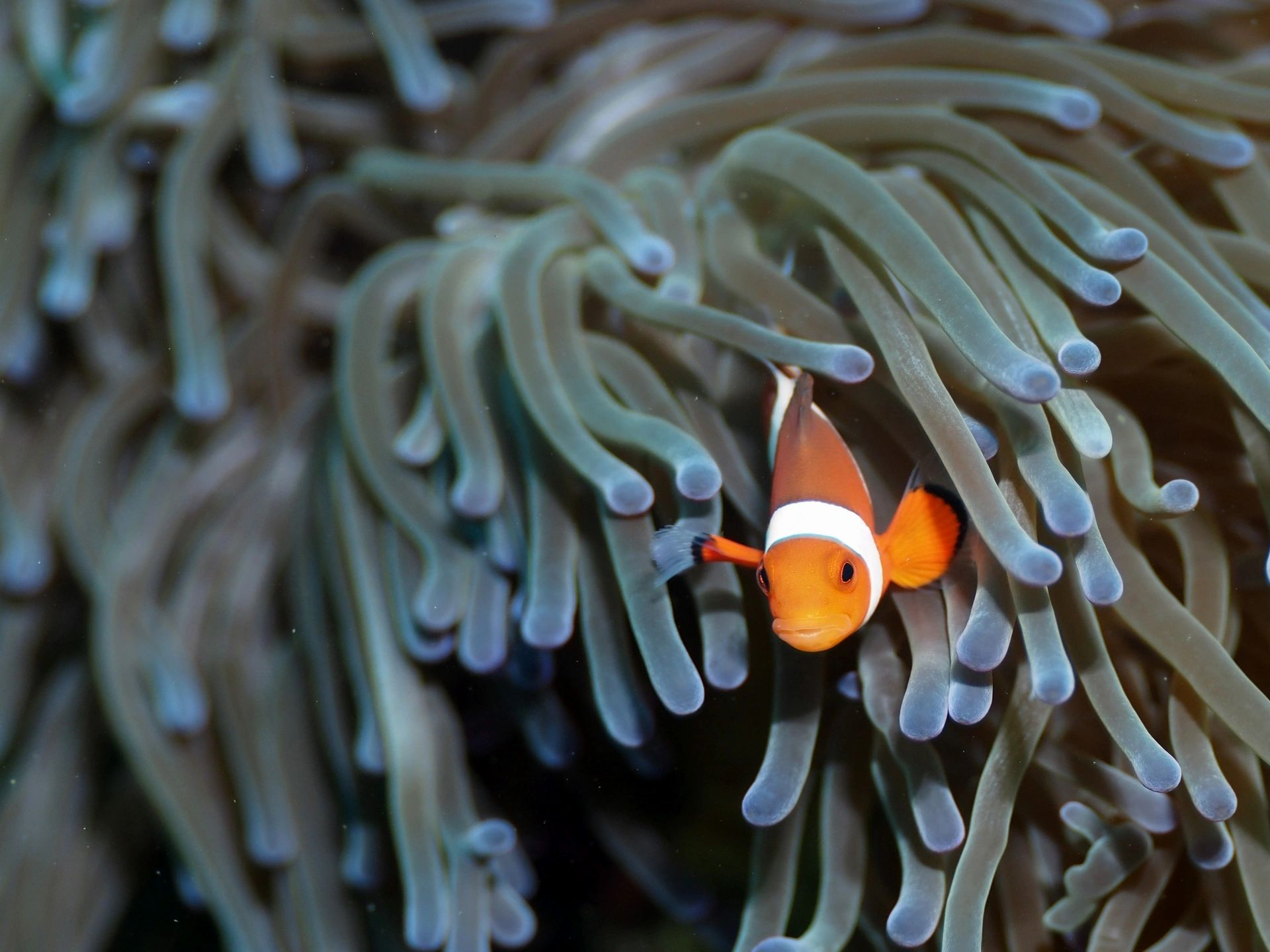 Saltwater aquarium Pecula Clownfish with Anenome
