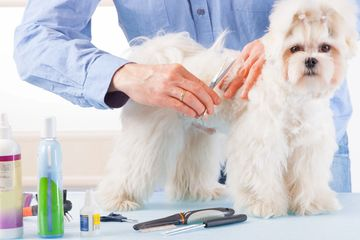 Small white long haired dog is getting groomed at Pawsitively Pets Grooming and Boarding