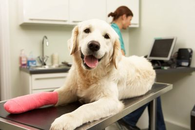 Dog relaxing on surgical table after the wound on has right front leg+paw was treated and wrapped