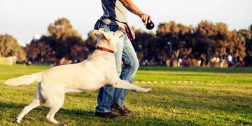 Advanced obedience, dog training