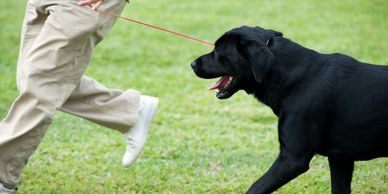 Black labrador retriever training on leash good dog Gainesville Canine Academy