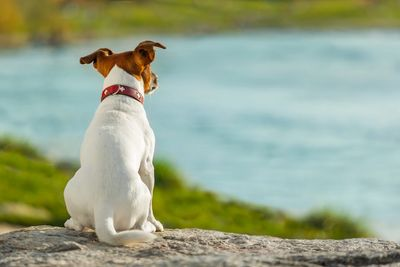 Dog staring at a body of water.