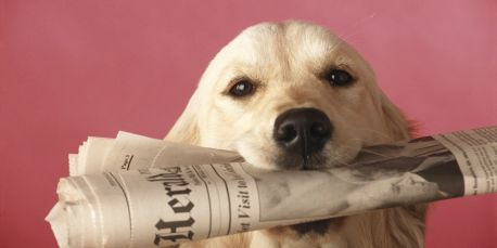 Labrador retriever with newspaper