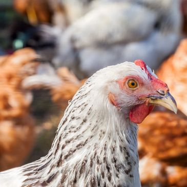 oraganic chicken and natural egg laying feeds