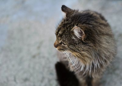 Long-haired tabby ponders his chronic disease state