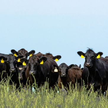 Black Angus Cattle