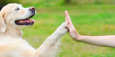 Yellow labrador retriever high five good dog Gainesville Canine Academy trick dog class