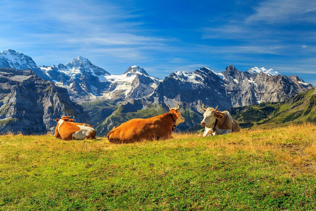 Cows | Telehealth Medicine | Telehealth and Biohacking solutions | Kiya Longevity